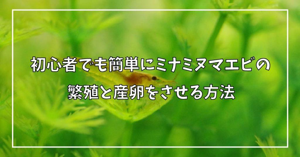 初心者でも簡単にミナミヌマエビの繁殖と産卵をさせる方法