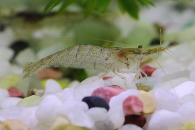 ミナミヌマエビが餌を食べない原因と理由