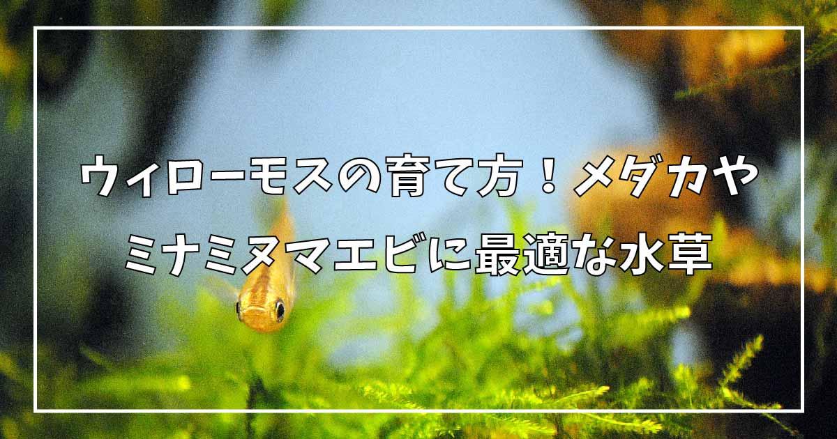ウィローモスの育て方!メダカやウィローモスに最適な水草