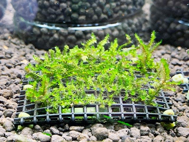 ウィローモス水中栽培開始