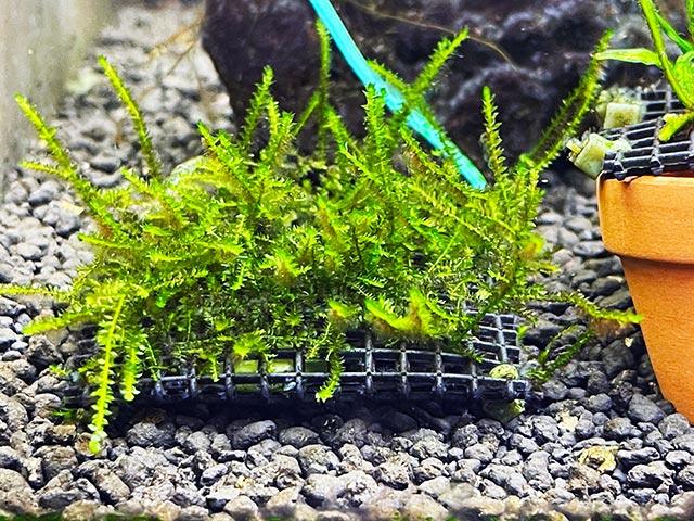 ウィローモス水中栽培1ヶ月経過