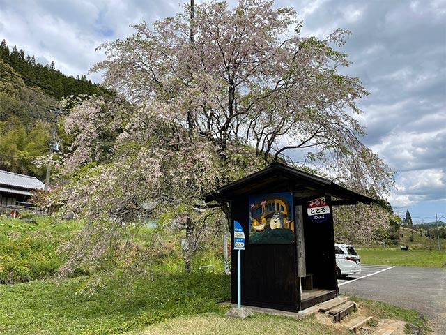 トトロのバス停と桜の木