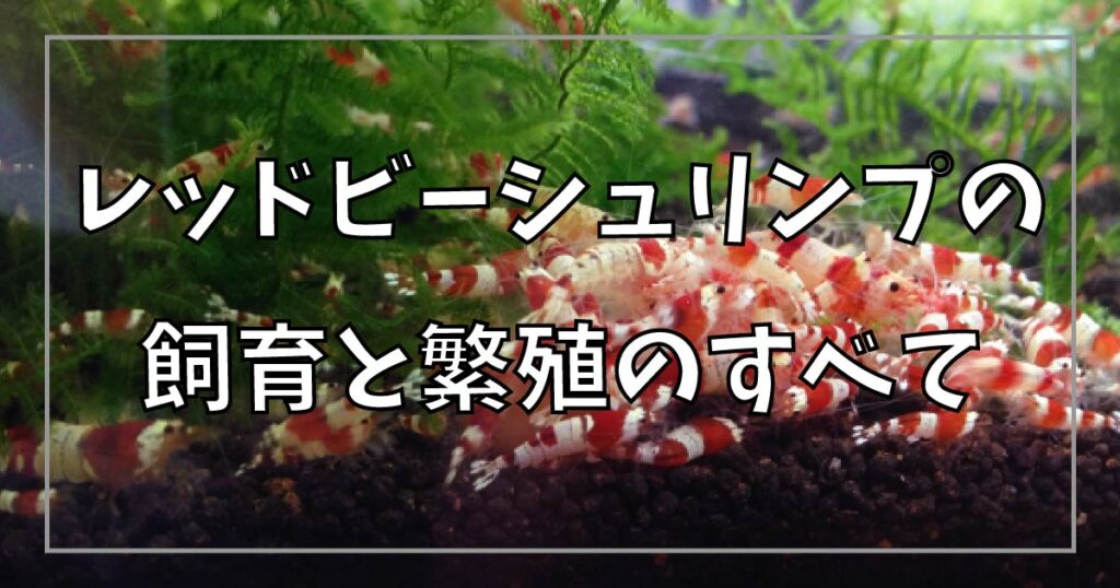 レッドビーシュリンプの飼育と繁殖
